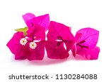 Bougainvillea  Flowers Isolate...