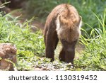 hyena cub south africa  | Shutterstock . vector #1130319452