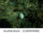 sea life at the bottom of the... | Shutterstock . vector #1130344082