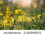 beautiful lupine plant with... | Shutterstock . vector #1130348552