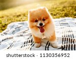 Stock photo happy spitz puppy sitting on a blanket space for text 1130356952