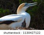 the australasian gannet  morus...   Shutterstock . vector #1130427122