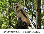 a view of a barn owl in a tree | Shutterstock . vector #1130430332