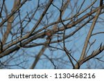 a house finch flying away from...   Shutterstock . vector #1130468216