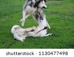 husky and laika play on a green ... | Shutterstock . vector #1130477498