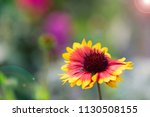 colorfull flower close up | Shutterstock . vector #1130508155