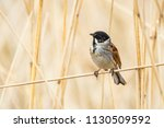 closeup of a common reed...   Shutterstock . vector #1130509592