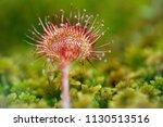 round sundew  drosera...   Shutterstock . vector #1130513516