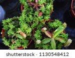 tropical pitcher carnivorous...   Shutterstock . vector #1130548412