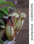 tropical pitcher carnivorous...   Shutterstock . vector #1130553296
