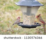 a male house finch and a female ...   Shutterstock . vector #1130576366