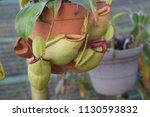 tropical pitcher carnivorous...   Shutterstock . vector #1130593832