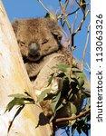 lazy koala is slipping on a... | Shutterstock . vector #113063326