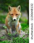 portrait of a red fox  vulpes... | Shutterstock . vector #1130648132