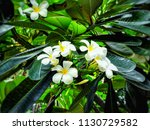 plumeria  blooming  colorful ... | Shutterstock . vector #1130729582