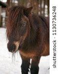 portrait of shetland pony at...   Shutterstock . vector #1130736248