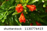 Flower Of Pomegranate  Punica...