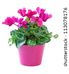 Pink Cyclamen In A Flower Pot ...