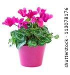 Pink Cyclamen In A Flower Pot ...