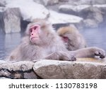 Japanese Snow Monkey Macaque In ...