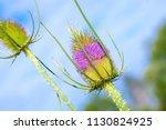 teasel    dipsacus fullonum    Shutterstock . vector #1130824925