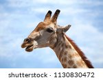 big head of giraffe on blue sky ... | Shutterstock . vector #1130830472