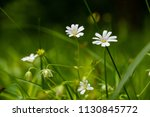 chickweed flowers closeup | Shutterstock . vector #1130845772
