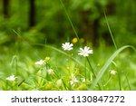 starweed flowers closeup | Shutterstock . vector #1130847272