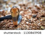 Cobra Young Snake Spreading Th...