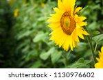 yellow field of sunflowers.... | Shutterstock . vector #1130976602