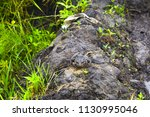 ground toad frog | Shutterstock . vector #1130995046