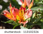 Small photo of Peruvian lily flower (Alstroemeria aurantiaca)