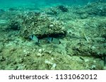 fish at the bottom of the... | Shutterstock . vector #1131062012