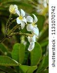 bouquet of white plumeria... | Shutterstock . vector #1131070742