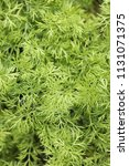 close up  fresh young greens of ...   Shutterstock . vector #1131071375