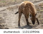 spotted hyena looking for a prey | Shutterstock . vector #1131109046