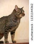 european short haired tabby cat ... | Shutterstock . vector #1131144362