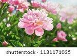 flower peony flowering on...   Shutterstock . vector #1131171035