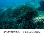 sea grass at the bottom of the... | Shutterstock . vector #1131202502