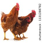 cocks and hen isolated on a... | Shutterstock . vector #1131288782