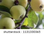 on a branch of a tree grow ripe ... | Shutterstock . vector #1131330365