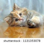 the small amusing fluffy kitten ... | Shutterstock . vector #1131353078