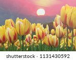 tulip blooming backdrop is a... | Shutterstock . vector #1131430592