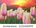 tulip blooming backdrop is a... | Shutterstock . vector #1131430595