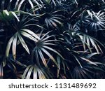 asian palmyra palm  sugar palm... | Shutterstock . vector #1131489692