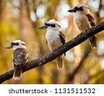 family of three kookaburras... | Shutterstock . vector #1131511532
