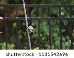 chickadee titmouse songbird... | Shutterstock . vector #1131542696