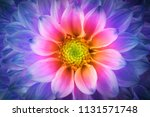colorful chrysanthemum flower... | Shutterstock . vector #1131571748