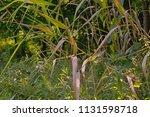 vegetation at the river danube. ... | Shutterstock . vector #1131598718