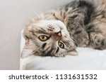 a persian cat laying down on... | Shutterstock . vector #1131631532